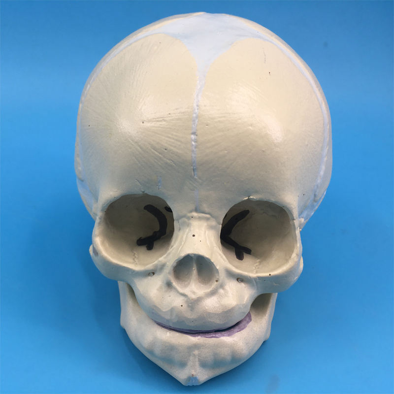 Chinese factory Life Size Human Fetus Child Baby Skull Science Model