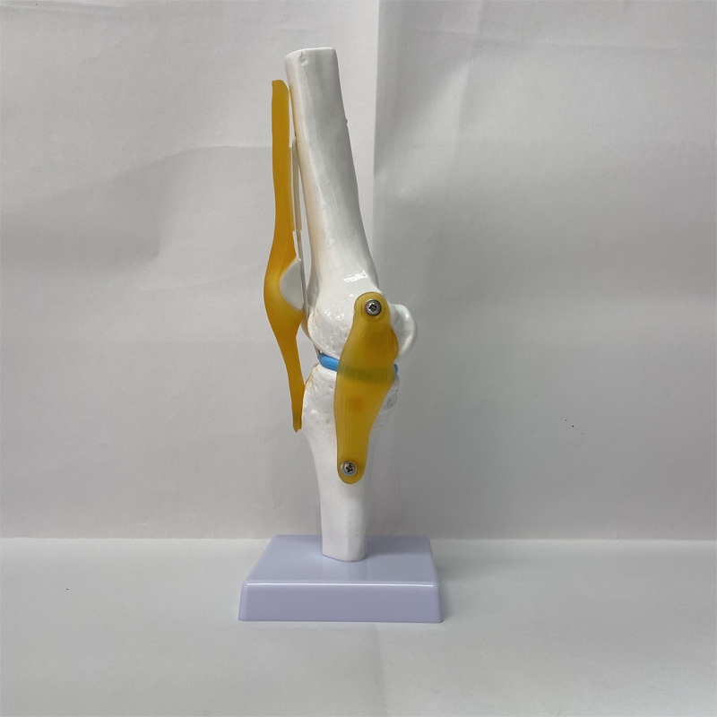 Chinese Factory Anatomical muscle skeletal human knee joint skeleton model with ligament